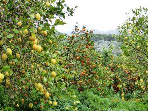 Foto 3 - 13.02- Orangen- und Zitronenbäume